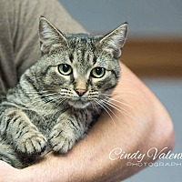Domestic Shorthair Cat for adoption in Holland, Michigan - Guinness