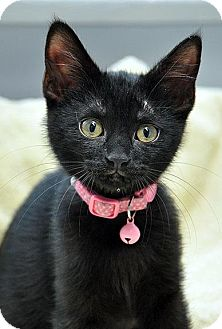 Domestic Shorthair Kitten for adoption in Fort Leavenworth, Kansas - Char