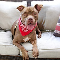 Dogue de Bordeaux/American Staffordshire Terrier Mix Dog for adoption in Burbank, California - Adorable Cinnamon