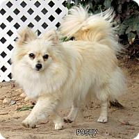 Adopt A Pet :: Poshy (Ritzy) - Lindsay, CA
