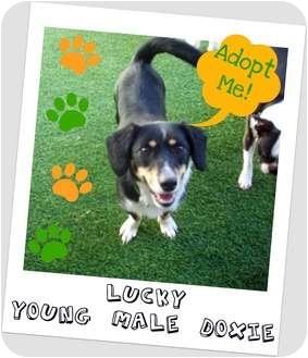 Dachshund Mix Dog for adoption in Elyria, Ohio - Lucky