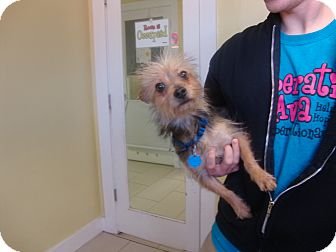 Yorkie, Yorkshire Terrier Mix Dog for adoption in Philadelphia, Pennsylvania - Geraldo