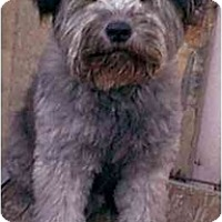 Adopt A Pet :: Blizzard - dewey, AZ