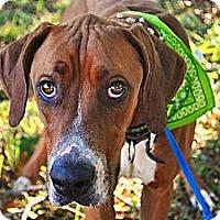 Adopt A Pet :: Ace - Manassas, VA