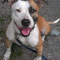 Bull Terrier/American Staffordshire Terrier Mix Dog for adoption in Holmes Beach, Florida - Bella