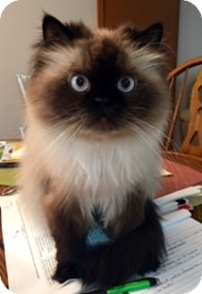 Himalayan Cat for adoption in Lincolnwood, Illinois - Milo