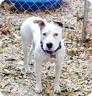 Bull Terrier/English Bulldog Mix Puppy for adoption in Los Angeles, California - Super cute Gracie