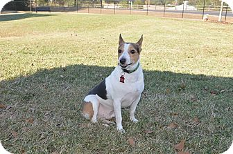Rat Terrier Mix Dog for adoption in Northport, Alabama - Dudley