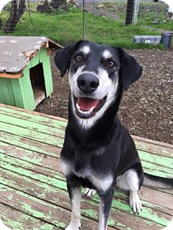 Shepherd (Unknown Type) Mix Dog for adoption in The Dalles, Oregon - Hazel