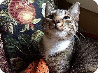 Domestic Shorthair Kitten for adoption in Beaufort, South Carolina - Phoebe