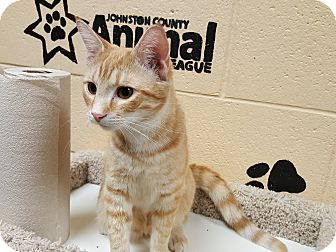 Domestic Shorthair Cat for adoption in Smithfield, North Carolina - Kendal