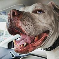 Adopt A Pet :: Hooch Courtesy Post - Beverly Hills, CA