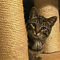 Domestic Shorthair Cat for adoption in Little Rock, Arkansas - Cabby