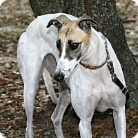 Adopt A Pet :: Sundae - Longwood, FL
