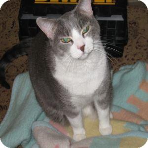 Domestic Shorthair Cat for adoption in Gilbert, Arizona - Misty