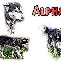 Adopt A Pet :: Alpha - Seminole, FL