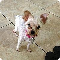 Adopt A Pet :: Coco Chanel - Miami, FL