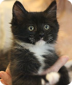 Domestic Shorthair Kitten for adoption in Canoga Park, California - Lucky Sherman