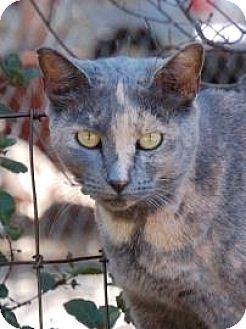 Domestic Shorthair Cat for adoption in El Dorado Hills, California - CC