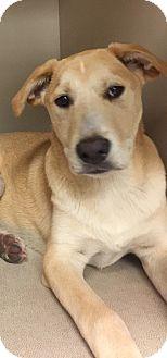 Labrador Retriever/Australian Cattle Dog Mix Puppy for adoption in Snyder, Texas - Chong