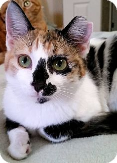 Domestic Shorthair Kitten for adoption in Edmond, Oklahoma - Livvy
