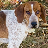 Adopt A Pet :: Belle - Enfield, CT