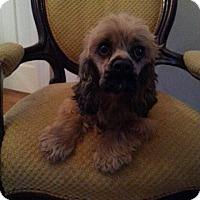 Adopt A Pet :: Dixie Belle - Gaithersburg, MD