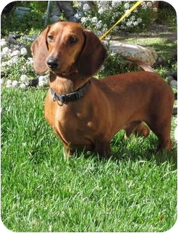 Dachshund Dog for adoption in Garden Grove, California - Brutus