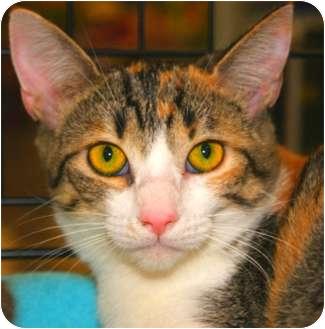 Domestic Shorthair Cat for adoption in San Ramon, California - Tess