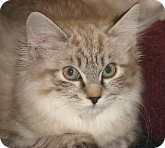 Ragdoll Kitten for adoption in Davis, California - Ayesha and Orenda