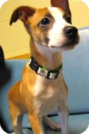 Jack Russell Terrier Mix Puppy for adoption in Jackson, Michigan - Max