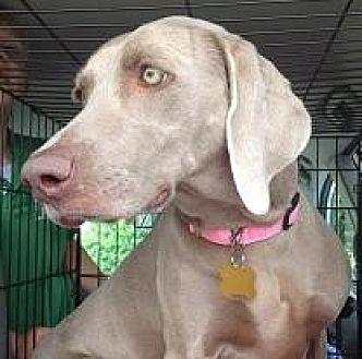 Weimaraner Dog for adoption in Birmingham, Alabama - Dixie 2