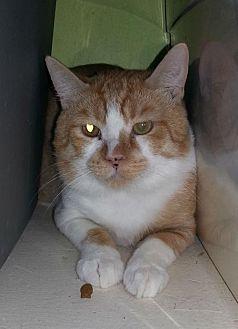 Domestic Shorthair Cat for adoption in Tucson, Arizona - Gus