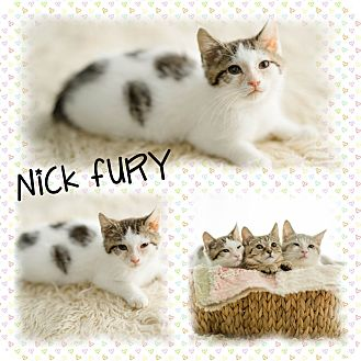 Domestic Shorthair Kitten for adoption in DOVER, Ohio - Nick Fury
