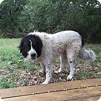 Adopt A Pet :: Albert Einstein - Buchanan Dam, TX
