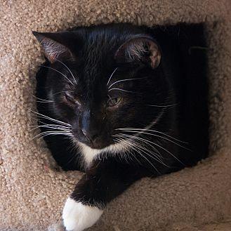 Domestic Shorthair Cat for adoption in Houston, Texas - WONTON