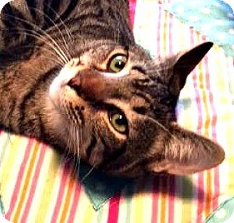 Domestic Shorthair Cat for adoption in Burlington, North Carolina - CAMDEN