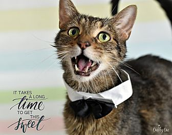 Domestic Mediumhair Cat for adoption in Wayne, Pennsylvania - Jiggs
