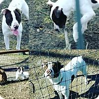 Adopt A Pet :: Sonny - lavon, TX