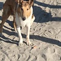 Adopt A Pet :: ChiBi - Trabuco Canyon, CA
