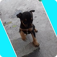 Terrier (Unknown Type, Medium)/Manchester Terrier Mix Puppy for adoption in LAKEWOOD, California - Vinn
