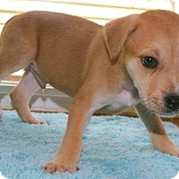 Pit Bull Terrier Mix Puppy for adoption in Durham, North Carolina - Romeo