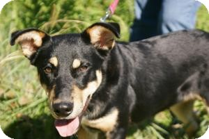Shepherd (Unknown Type)/Rottweiler Mix Dog for adoption in Conway, Arkansas - Smokey