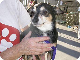 Chihuahua Mix Dog for adoption in Las Vegas, Nevada - Edward