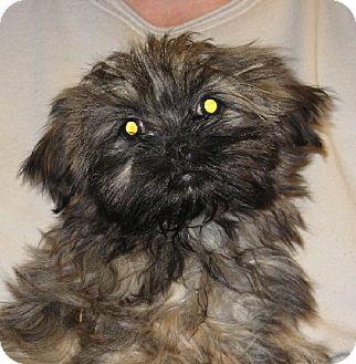 Shih Tzu Puppy for adoption in Salem, New Hampshire - Ron Weasley