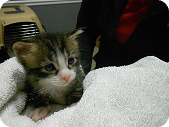 Domestic Shorthair Kitten for adoption in Maywood, New Jersey - Clyde