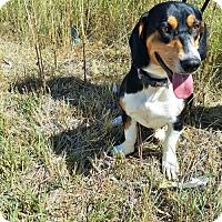 Adopt A Pet :: Phaedra - Littleton, CO