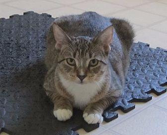 American Shorthair Kitten for adoption in Burgaw, North Carolina - Jessie Jess