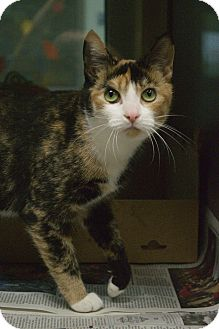Calico Cat for adoption in Prince George, Virginia - Callie
