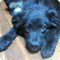 Border Collie/Flat-Coated Retriever Mix Puppy for adoption in Waterbury, Connecticut - Tuck